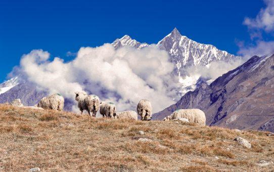 Zermatt, Schafe, Dom, Täschhorn