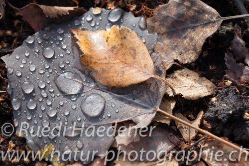 Laub mit Regentropfen