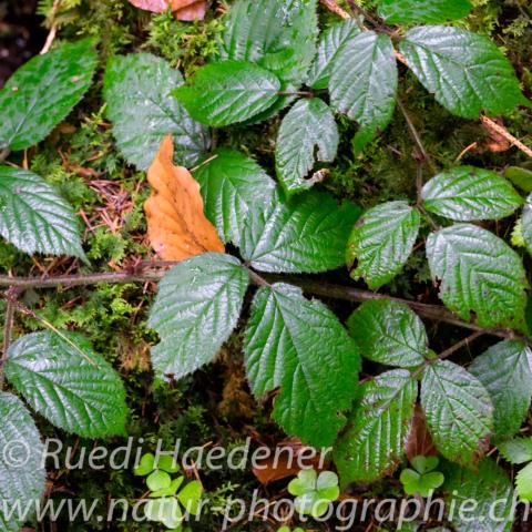 Regennasse Blätter im Wald