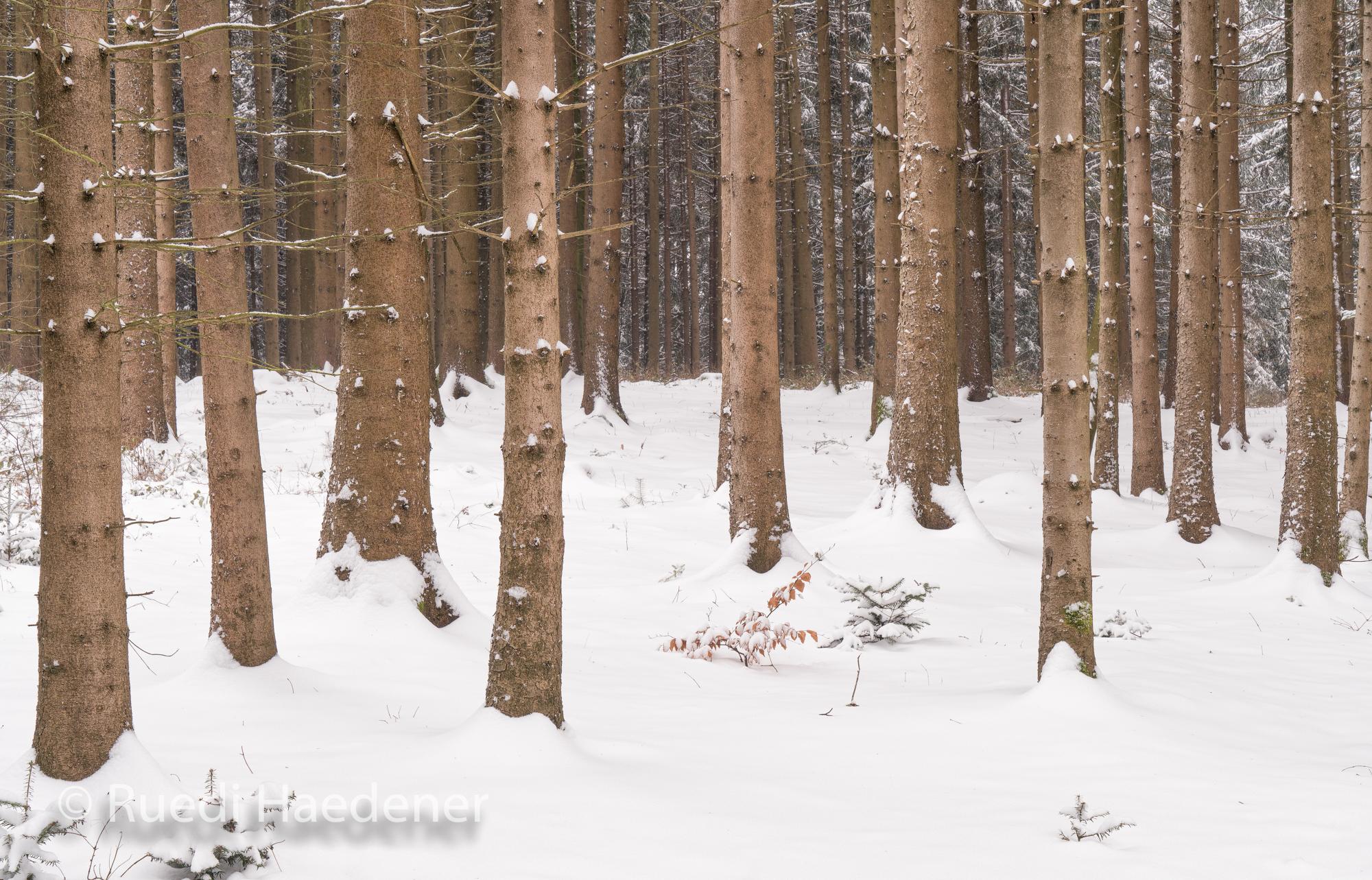 Fichtenwald im Winter