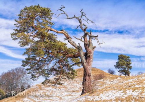 Baum im Jura