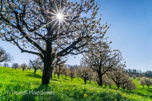 Kirschbäume im Baselbiet