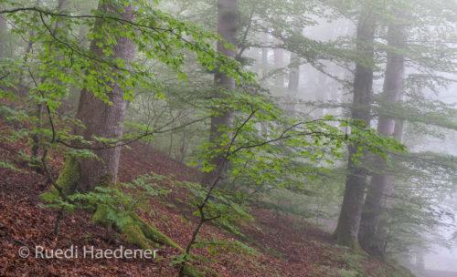 Wald im Nebel 2