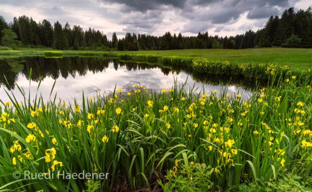 Schwertlilien am Teich mit Gewitterwolken