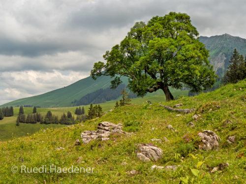 Baum im Breccaschlund