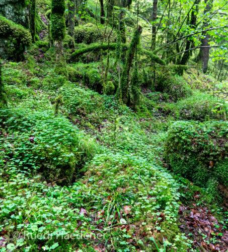 Waldboden im Gorges du Pichoux