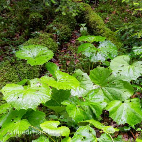 Grüne Blätter im Gorges du Pichoux