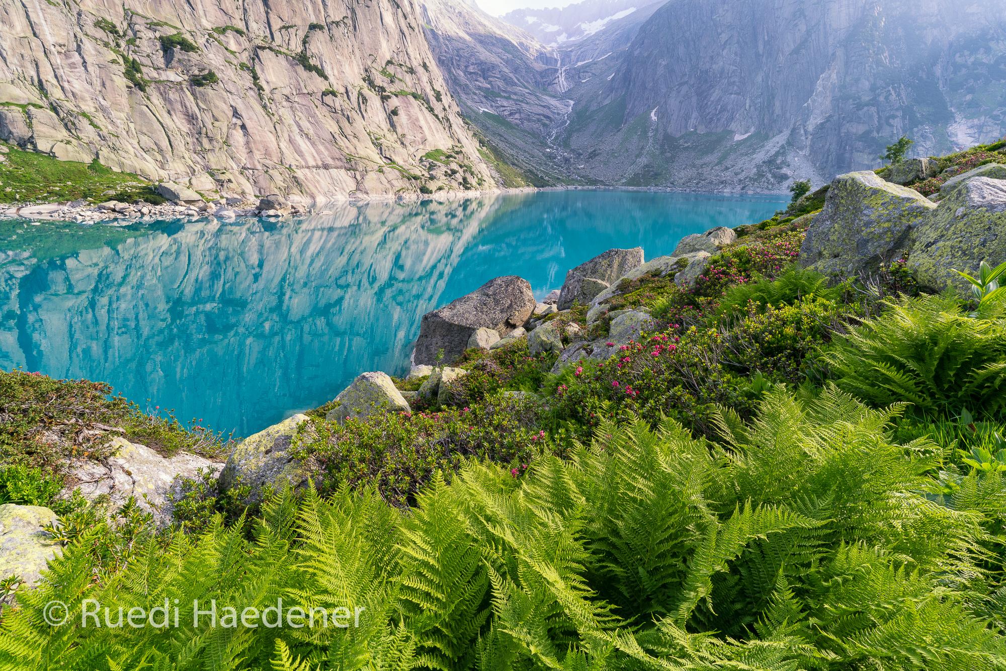 Gelmersee Alpenrosen und Farne