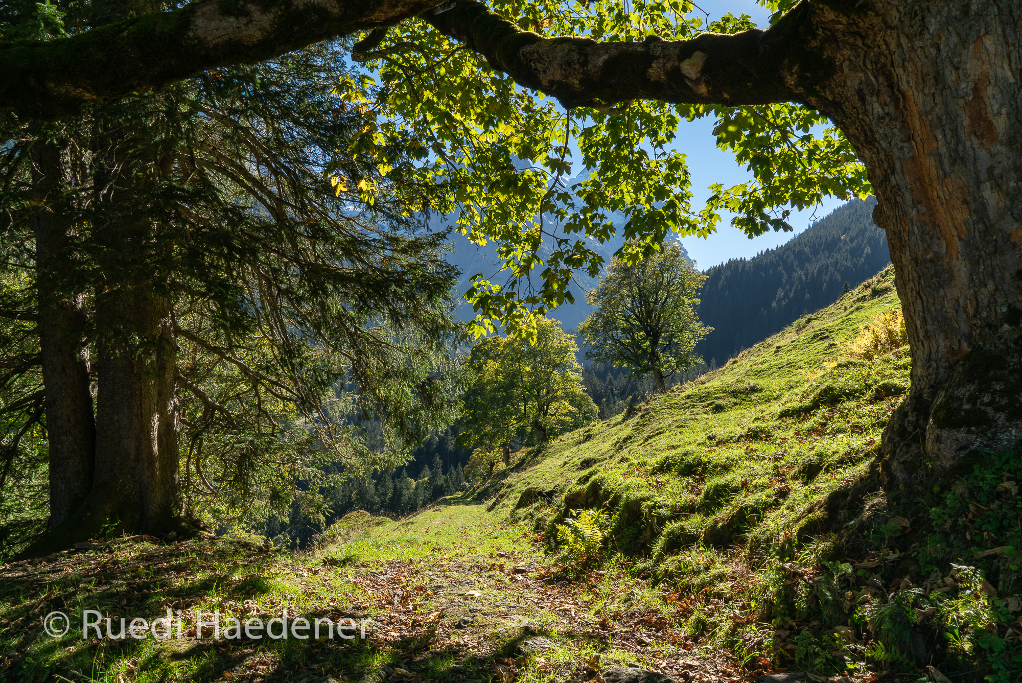 Ahornbäume im Reichenbachtal