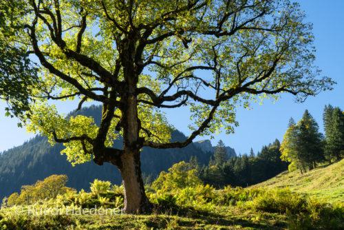 Ahornbaum im Gegenlicht