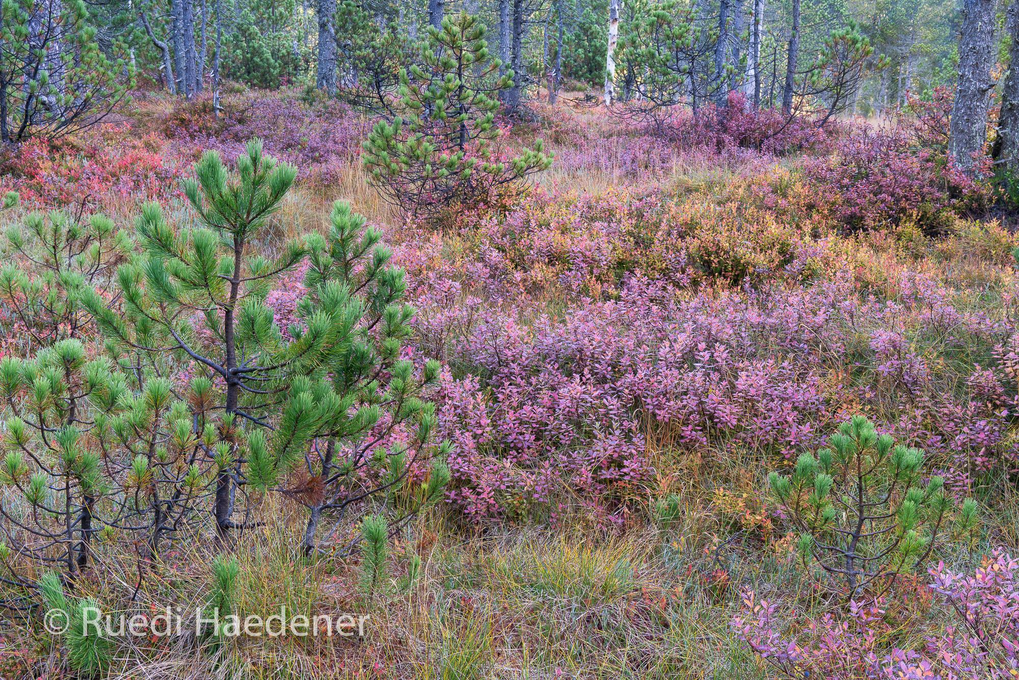 Moor, Moorlandschaft, Farben, Herbst