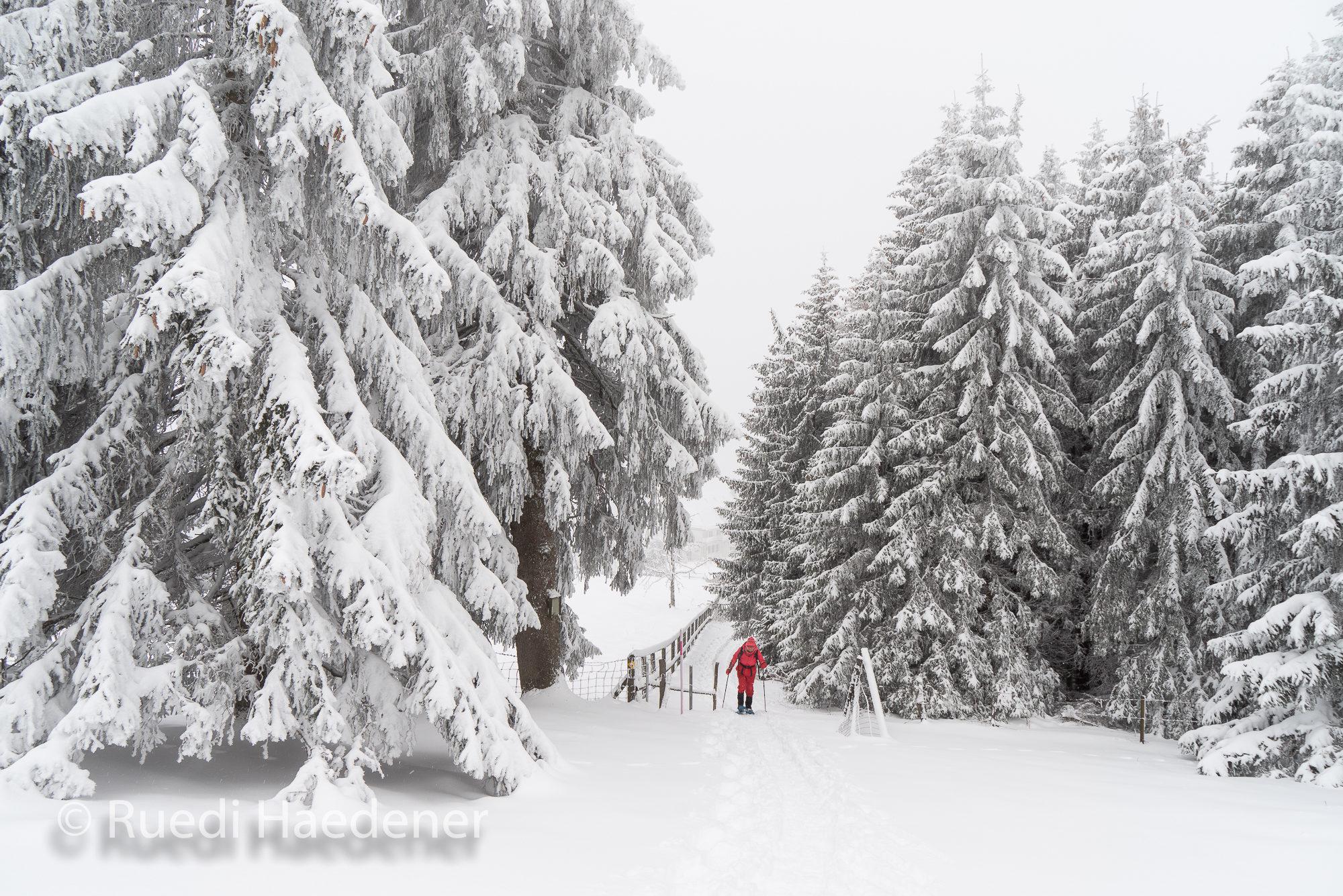auf Schneeschuhen zwischen Tannen