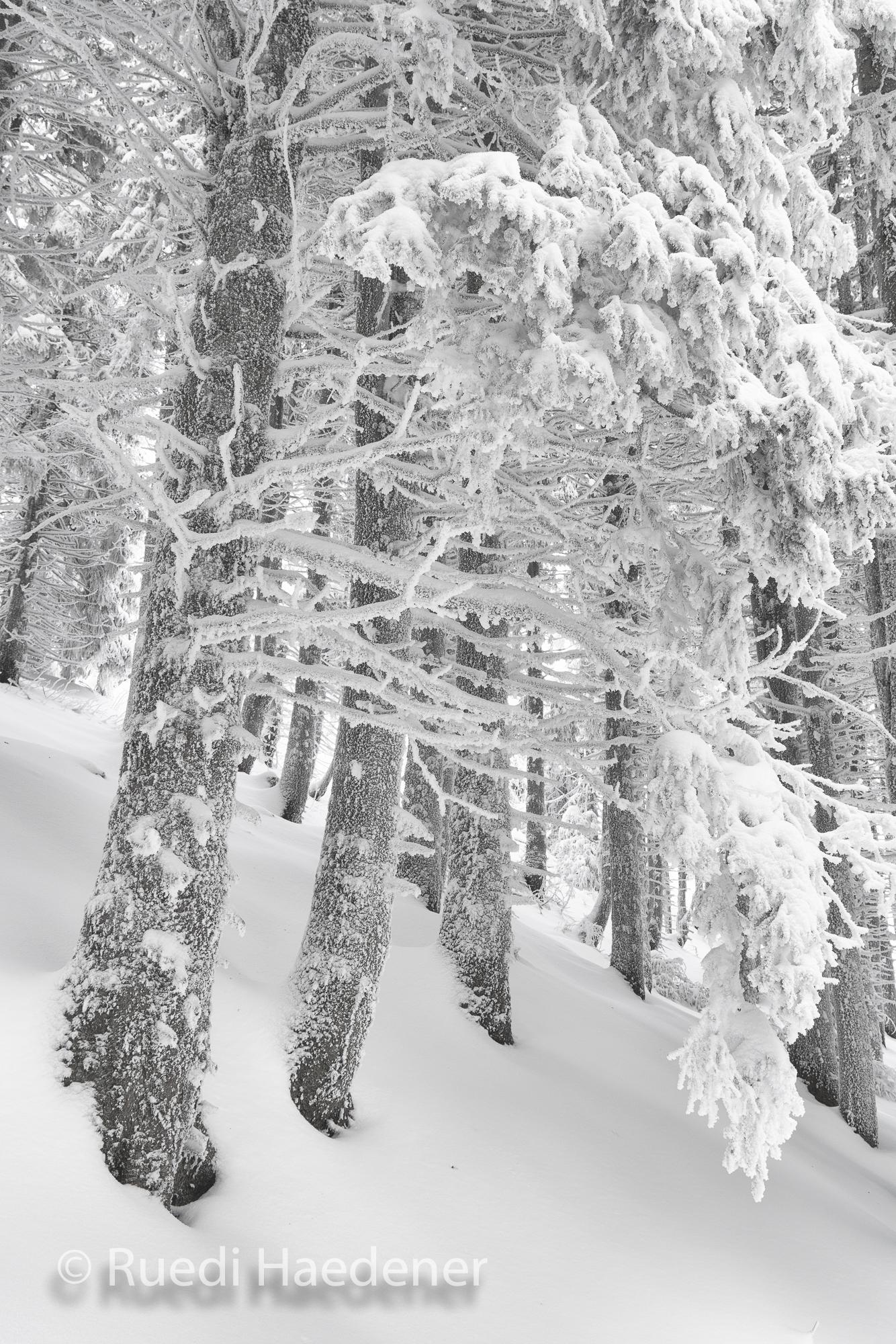Verschneite und gefrorene Bäume