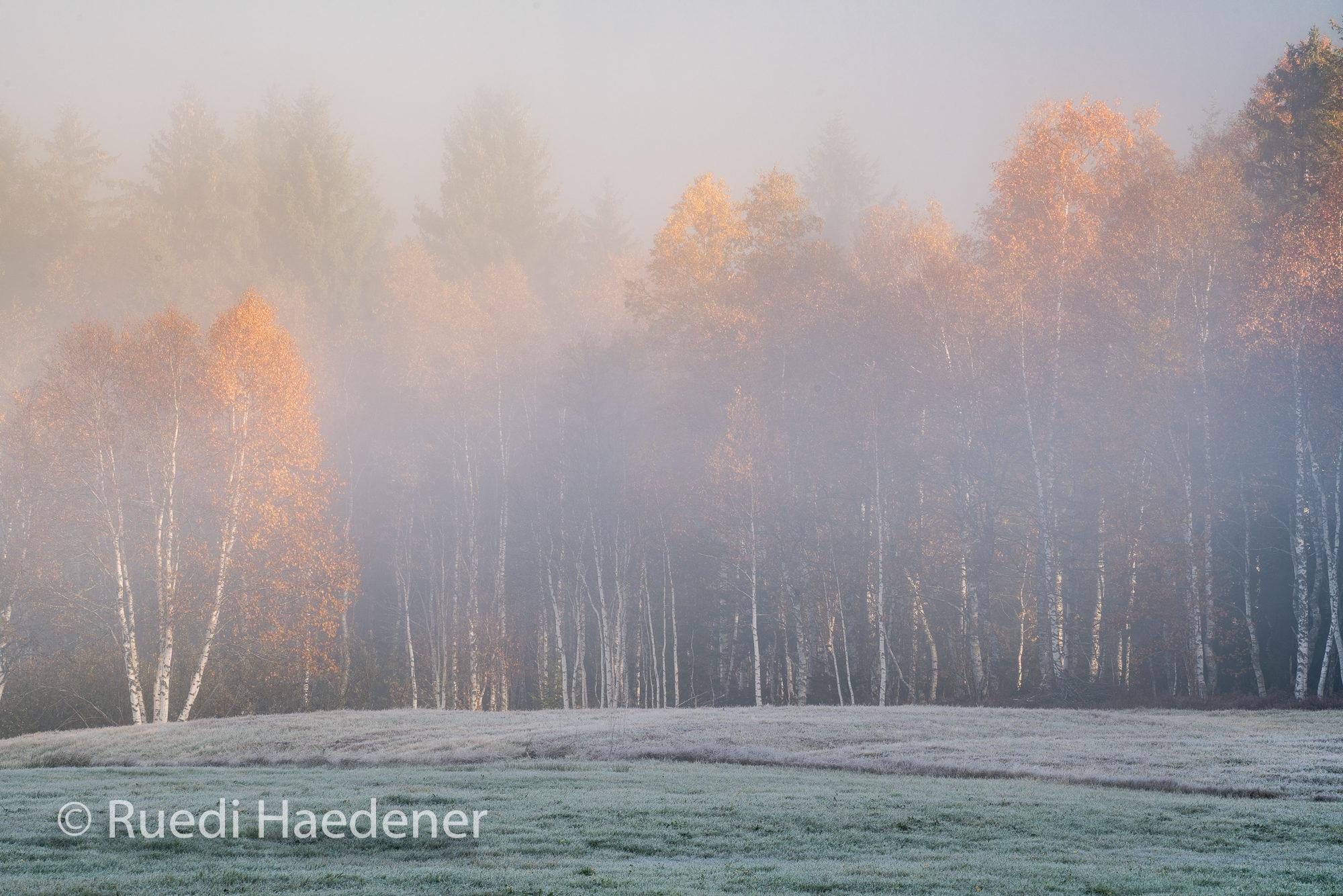 Birkenwald im Nebel