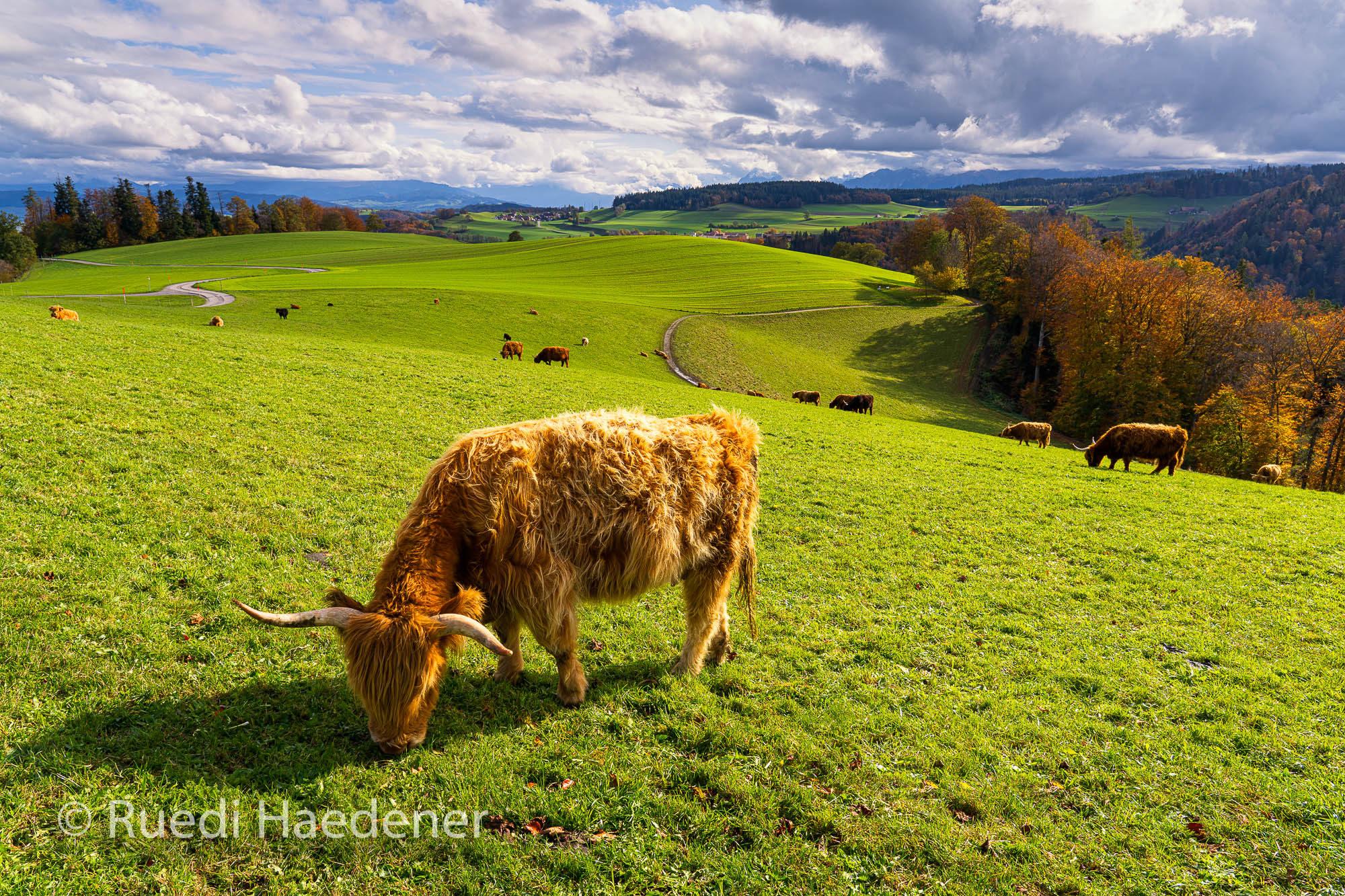 Schottische Hochlandrinder auf dem Gurten